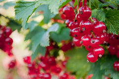 Berries of red currant. On a branch stock photos
