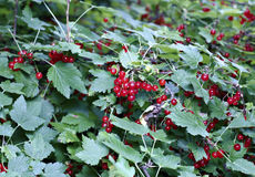 Berries of a red currant on the branches of a bush Royalty Free Stock Photography