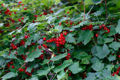 Berries of a red currant on the branches of a bush Stock Photos