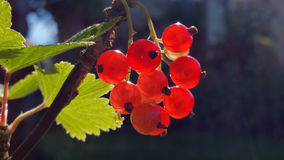 Berries of red currant, close-up Stock Photo