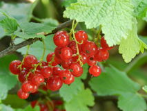 Berries of red currant Stock Images