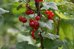 The berries of red currant ripen on the branch. Sour, big, tasty royalty free stock photos