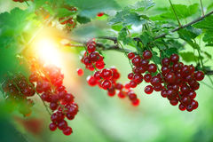 Berries red currants in the garden Stock Photo