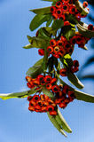 Berries of red mountain ash Royalty Free Stock Photo