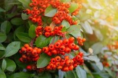 Berries of red rowan. Rowan tree. Mountain ash branch with berries. Bunch of red rowan with red berries. Berries of red rowan Royalty Free Stock Images