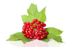 Berries of red Viburnum Royalty Free Stock Image