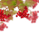 Berries of red viburnum. Autumn background. Stock Images