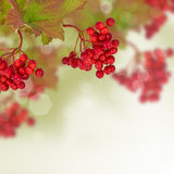 Berries of red viburnum. Autumn background. Stock Photography
