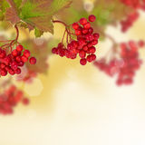 Berries of red viburnum. Autumn background. Stock Photo