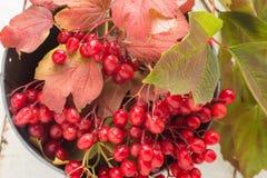 Berries of red viburnum Royalty Free Stock Images