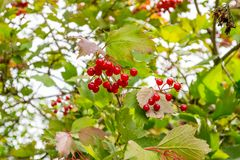 Berries of red viburnum on a branch with leaves after the rain. Drops of water on berries Stock Photos