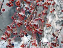 Berries of red viburnum on a branch in the snow Royalty Free Stock Images