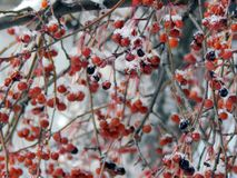 Berries of red viburnum on a branch in the snow Royalty Free Stock Photos