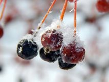 Berries of red viburnum on a branch in the snow Royalty Free Stock Photo