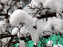 Berries of red viburnum on a branch in the snow Stock Photo