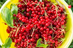 Berries of red viburnum in bucket Royalty Free Stock Photography
