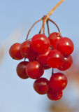 Berries of red Viburnum closeup Royalty Free Stock Photography