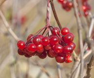 Berries of red Viburnum closeup Royalty Free Stock Photos