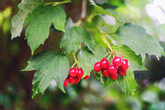 Berries of red Viburnum with leaves. In autumn stock photo
