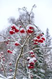 Berries of red viburnum, after winter snowfall stock photo