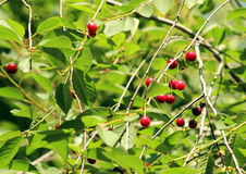 Berries of ripe cherries on branches. Ripe berry cherries on the branches of a tree. July is the season for the ripening of cherry berries Stock Images