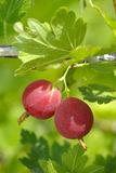 Berries ripe gooseberries on a branch Royalty Free Stock Photo