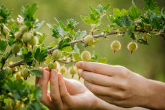 Berries of a ripe  gooseberry on a branch Stock Photography