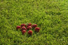 Berries ripe strawberries lying on lawn grass. Some ripe red strawberries lying on green grass royalty free stock images