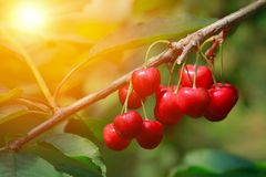 Ripe cherries on a branch in a cherry orchard. Close-up. Stock Image