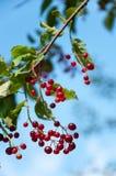 Berries ripe tasty bird cherry Stock Photo
