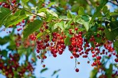 Berries ripe tasty bird cherry Royalty Free Stock Photos