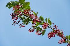 Berries ripe tasty bird cherry Stock Images