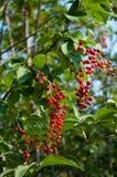 Berries ripe tasty bird cherry Stock Image