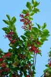 Berries ripe tasty bird cherry Stock Photos