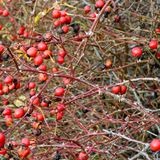 Berries of a rose garden in autumn full of thorns Royalty Free Stock Photography