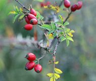 Berries of a rose garden in autumn full of thorns and prickles Stock Photography