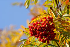 Berries of a rowan. H on clear sky background Royalty Free Stock Photo