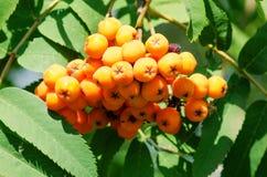 Berries of rowan Stock Photos