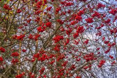 Berries rowan. In the sky Stock Photos