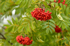 Berries on a rowan tree branch Stock Photography