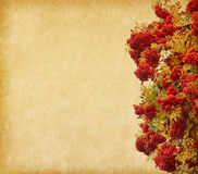 Berries of a Rowan tree. Royalty Free Stock Images