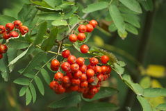 Berries on a rowan tree Royalty Free Stock Photos