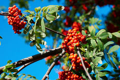 Berries of rowanberry Royalty Free Stock Images