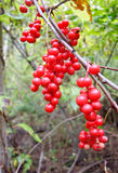 Berries Schisandra chinensis. Hanging brushes of ripe berries Schisandra chinensis royalty free stock photography