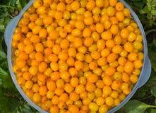 Berries of sea-buckthorn 14 Royalty Free Stock Photos