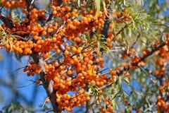 Berries of Sea buckthorn Stock Images