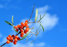 Berries of Sea buckthorn Royalty Free Stock Photography