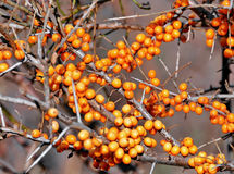 Berries of Sea buckthorn Royalty Free Stock Photo