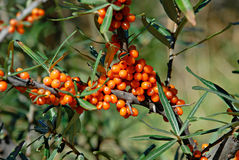 Berries of Sea buckthorn. Hippophae rhamnoides. royalty free stock image