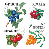 Berries. Set of 4 vector forest berries illustrations stock illustration